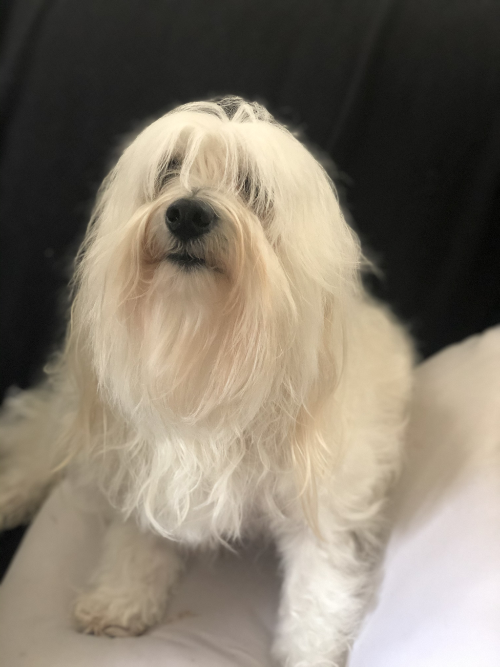 Picture coton de tulear by cottontailcotons